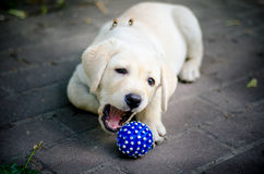 Cute labrador puppy playing with a blue ball. Royalty Free Stock Image