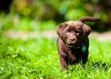 Cute Labrador puppy playing in green grass Royalty Free Stock Image