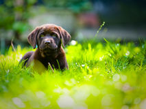 Cute Labrador puppy playing in green grass. In the summer sun Royalty Free Stock Photos