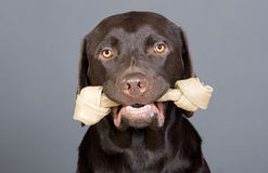 Cute Labrador Puppy with Rawhide Done in his Mouth Stock Photos