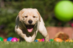 Cute Labrador puppy runs after a ball Stock Photos