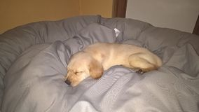 Cute Labrador puppy Simba is sleeping. Small Labrador puppy named Simba is sleeping Stock Photo