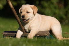 Cute Labrador puppy sitting on a broom Stock Images