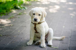 Cute Labrador puppy sitting funny in the park. Stock Image