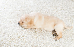 Cute labrador puppy sleeping Royalty Free Stock Photos
