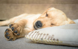 Cute Labrador puppy sleeping royalty free stock image