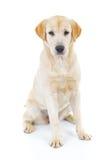 Cute labrador retriever dog is sitting Stock Photos
