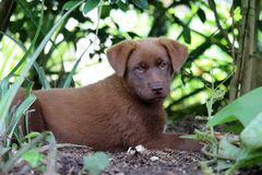 Chocolate colored puppy in garden. A cute Labrador Retriever mix puppy in Papua New Guinea laying down in a garden with sunlight shining through the leaves in stock image