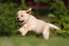 Cute Labrador Retriever puppy Royalty Free Stock Photography