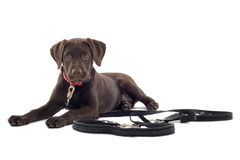 Cute Labrador Retriever puppy Stock Image