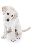 Yellow Lab Puppy on White Royalty Free Stock Photos