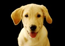 Cute labrador retriever puppy over black. Cute labrador retriever puppy isolated over black Stock Photos