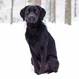 Cute Labrador Retriever puppy Stock Images