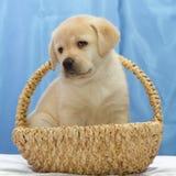 Cute Labrador retriever puppy. Royalty Free Stock Image
