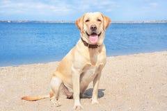 Cute Labrador Retriever on sandy river. Bank stock photography