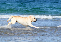 Cute labrador at the sea Royalty Free Stock Photo