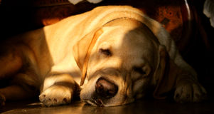 Cute labrador sleeping on the floor stock image