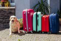 Labrador suitcase isolated baggage luggage vacation gold multicolored pink blue ready holiday summer dog pet animal expectation. Cute Labrador with suitcase. A royalty free stock images
