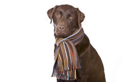 Cute Labrador with Winter Scarf
