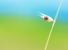 Cute ladybird on wheat spike Royalty Free Stock Images