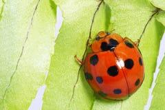 Cute ladybug Stock Image