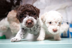 Cute lagotto romagnolo puppies Royalty Free Stock Photo