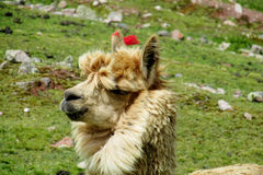 Cute lama portrait on green field stock images