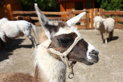 Cute lama Stock Photo