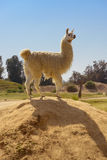 Cute Lama Standing on Rock Royalty Free Stock Images