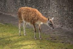 Cute lama at zoo in Berlin Royalty Free Stock Photo
