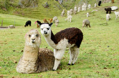 Cute lamas portrait on green field stock images