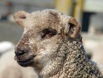 Cute Lamb Royalty Free Stock Images