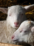 Cute lamb Stock Image