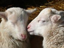 Cute lamb. Two sleeping young lovely sheeps. cute lamb Royalty Free Stock Photo