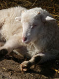 Cute lamb Royalty Free Stock Photos