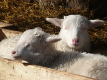 Cute lamb Stock Photos