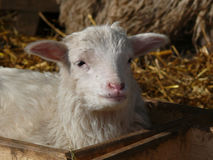 Cute lamb Royalty Free Stock Photo