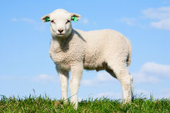 Cute lamb Royalty Free Stock Image