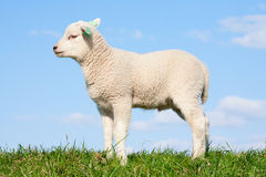 Cute lamb Stock Photo