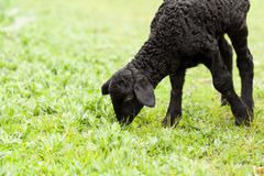 Cute lamb Stock Images