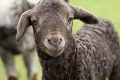 Cute lamb Royalty Free Stock Images