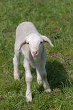 Cute lamb Royalty Free Stock Photography