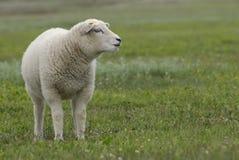 Cute lamb Stock Image