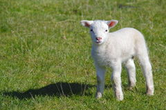 Cute lamb. Cute Spring farm newborn lamb stock photography