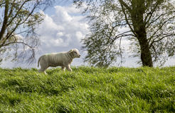 Cute lamb. This adorable lamb strolls all by herself and explores her small world stock images