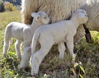 Cute lamb against ewe. In a meadow royalty free stock photography