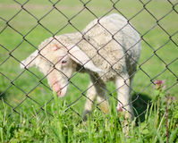 Cute lamb behind wire fence Royalty Free Stock Photo