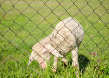 Cute lamb behind wire fence Stock Photo
