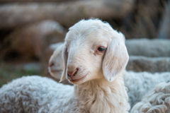 Cute Lamb. Close-up of a cute lamb royalty free stock photography