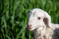 Cute Lamb. Close-up of a cute lamb royalty free stock images